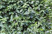 This Is A Thick Cover Of Leaves Of A Laurel Bush. poster