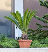 Large Palm Tree Plant In A Large Pot On The Background Of The Facade Of A Building In A European Cit poster