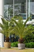Large Palm Tree Plant In A Large Wooden Pot On The Background Of The Facade Of A Building In A Europ poster