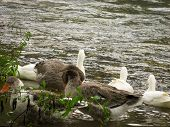 Greylag Goose And White Ducks On The Water At The River. Close-up Of Greylag Goose And Ducks At The  poster