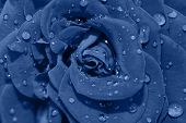 Vibrant Fresh Blue Rose Flower Close Up. Rose Head Macro Photo Background. Deep Focus. Top View. Tre poster