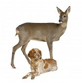 European Roe Deer, Capreolus capreolus, 3 years old, standing with dog lying against white backgroun