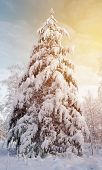 Winter Landscape . The Pine Tree Under The Snow Is Lit By The Yellow Sun. The Branches Of The Tree A poster
