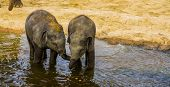 Young Asian Elephant Couple Standing In The Water, Social Animal Behavior, Endangered Animal Specie  poster