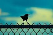 Silhouette Of A Tiny Bird Perched On Metal Fence At Sunrise/ Sunset. Single Lone/ Lonely One Standin poster