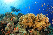 Scuba Diver swims through cloud of tropical fish on coral reef in the Red Sea