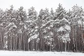 Coniferous Forest After Snowfall, Pines Covered With White Snow, Electrical Wires And Road In The Fo poster