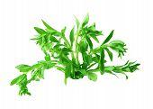 Ricepaddy Herb