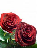 Rode Rose