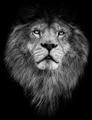 Poster Black And White Lion. Detail Poster Lion. Lion On Black Background. Lion With Big Mane. poster