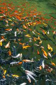 Group Of Multicolored Carp Fish Swimming In The Pond poster