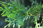 Juniper Branches Close Up. Evergreen Juniper Plant, Cypress Branches, Leaves With Seeds Close-up. Ga poster