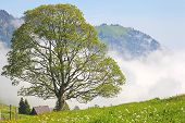 Lonely Tree In The Clouds In The Swiss Als. Switzerland, Europe
