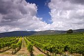 Vineyards In The Galilee