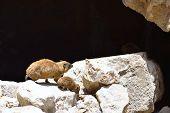 Syrian Rock Hyrax