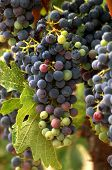 Vineyard Grape Cluster