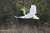 snowy egret flying in breeding plumage