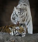 White And Brown Tigers Resting