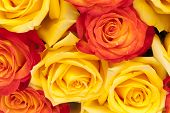 image of yellow buds  - roses - JPG