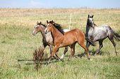 Three Appaloosa Horses Running