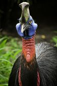 image of angry bird  - Images of Australian cassowary look into the camera angry face - JPG