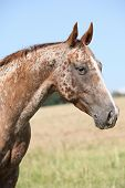 foto of appaloosa  - Portrait of nice appaloosa mare on pasturage in summer
