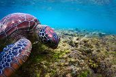 Close-up underwater shoot of a sea turtle ( Chelonioidea) grazing on a sea pasture