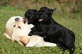 Beautiful Creme Labrador Retriever With Black Puppies