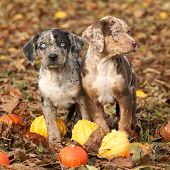picture of catahoula  - Two Louisiana Catahoula puppies with pumpkins in Autumn - JPG