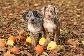 pic of catahoula  - Two Louisiana Catahoula puppies with pumpkins in Autumn - JPG