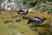 Crested Screamer (Chauna torquata)