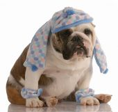 stock photo of leg warmer  - funny english bulldog dressed in winter hat scarf and leg warmers - JPG