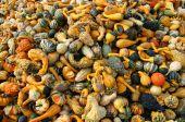Mixed Pumpkins