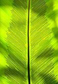 Birdnest fern leaf detail shot showing spores.