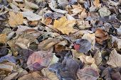 stock photo of cottonwood  - texture background of fall leaves on the ground - JPG