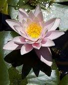 Waterr Lily In The Botanical Garden
