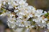 Blossoming Branch Of A Cherry Tree