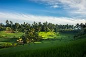 A view of the terraced rice fields on the rich fertile valley of volcano soil hills of Bali, Indones