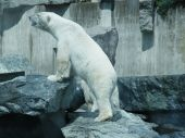 stock photo of mating bears  - An ice bear got bored with its single plastic drum to play and looking for its mate to have some fun - JPG