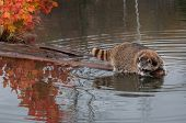 Raccoon (Procyon lotor) Hangs Out At End Of Log