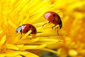 picture of ladybug  - Two ladybugs on the petals of a dandelion macro