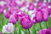Tulips & Water Beads