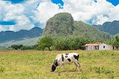 Rural scene with rustic houses and animals at the Vinales Valley in Cuba, worldwide known for its natural beauty and the fame of its tobacco