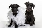 Two black miniature schnauzer puppies.