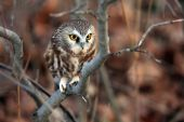 Wild Northern Saw-Whet Owl