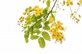 pic of vishu  - Golden shower blossom on a white background - JPG