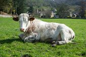 Cow Sunbathing