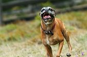 Ugly Boxer Dog Running