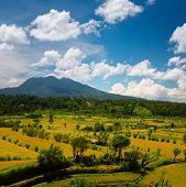 Ripe rice fields at sunny day with mountains on the horizon. Bali, Indonesia