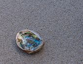 Abalone Shell On Wet Sand